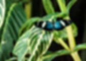 Picture of a szara longwing butterfly in the La Paz Waterfall Garden in Vera Blanca, Costa Rica as a fine art nature print for the wall of your home or office.