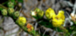 Picture of prickly pear blossoms in the Withlacoochee National Forest in Florida as a fine art nature print for the wall of your home or office.