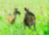 Picture of white-tailed deer does in Cades Cove in the Great Smoky Mountains as a fine art nature print for the wall of your home or office.