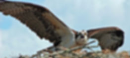 Picture of a female osprey warning intruders away from her nest on the Hillsborough River as a fine art nature print for the wall of your home or office.