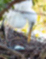 Picture of a great white egret turning it's eggs, for the wall of your home or office, as a fine art nature print.