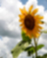 A large sunflower as a fine art nature print for the walls of your home or office.