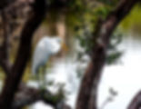 Picture of a great white egret in a tree beside the boat ramp to Bishops Harbor, Florida as a fine art nature print for the wall of your home or office.