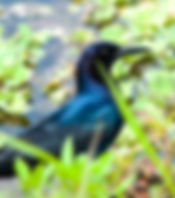 Picture of a boat-tailed grackle in the Lake Apopka: North shore Recreation Area as a fine art nature print for the wall of your home or office.