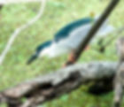 Picture of a black crowned night heron stalking its prey in Tampa, Florida's Lettuce Lake Park as a fine art nature print for the walls of your home or office.