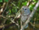 Picture of a young barred owl looking for fish in Tampa, Florida's Lettuce Lake Park as a fine art nature print for the wall of your home or office.