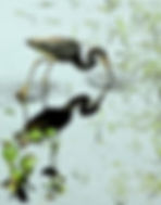 Picture of a tri-colored heron fishing in the oxbow of Tampa, Florida's Lettuce Lake Park as a fine art nature print for the wall of your home or office.