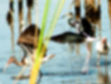 Picture of a black-necked stilt in a Ruskin, Florida pond off Cockroach Bay Road as a fine art nature print for the wall of your home or office.