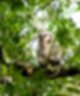 Picture of a barred owlet just after fledging in Tampa, Florida's Lettuce Lake Park as a fine art nature print for the wall of your home or office.