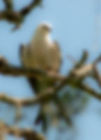 Picture of a young swallow-tailed kite resting in a tree in rural Hernando County, Florida as a fine art print for the wall of your home or office.