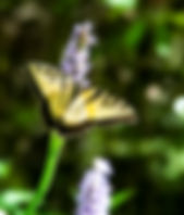 A male eastern tiger swallowtail butterfly as a fine art nature print for the walls of your home or office.