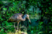 Picture of a limpkin on a stump in Tampa, Florida's Lettuce Lake Park as a fine art nature print for the wall of your home or office.