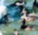Picture of a mute swan and flock ao ring-necked ducks in Lakeland, Florida's Lake Morton as a fine art nature print for the wall of your home or office.