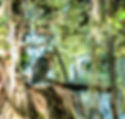 Picture of a green heron in Tampa, Florida's Lettuce Lake Park as a fine art print for the wall of your home or office.