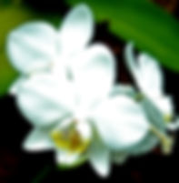 Picture of a white orchid in the La Paz Waterfall Gardens in Vara Blance, Costa Rica as a fine art nature print for the wall of your home or office.