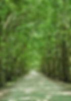 Picture of the bowered road that leads into Hillsborough County's Dead River Road Park as a fine art print for the wall of your home or office.