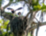 Pictue of a pair of ospreys sharing a fresh fish withj their offspring in their nest in the top of a tall cypress tree in Tampa, Florida's Lettuce Lake as a fine art nature print for the walls of your home or office.