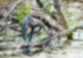 Great blue heron as a fine art nature print for the walls of your home or office.