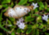 Picture of a white peacock butterfly in Ruskin, Florida's E.G. Simmons Park as a fine art nature print for the wall of your home or office.