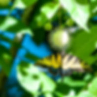 Picture of an eastern tiger swallowtail butterfly feeding on a buttonbush flower in Tampa, Florida's Lettuce Lake Park as a fine art nature print on the walls of your home or office.