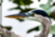 Picture of a great blue heron in the spatterdock at Lakeland, Florida's Lake Morton as a fine art nature print for the wall of your home or office.