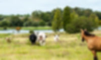 Picture of a herd of steers in a western Polk County, Florida pasture as a fine art nature print for the wall of your home or office.