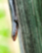 Picture of a  southeastern five-lined skink on a post along a boardwalk on a pond in Florida's Withlacoochee State Forest as a fine art nature print for the walls of your home or office.