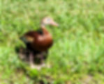 Picture of a black bellied whistling duck protecting her ducklings as a fine art nature print for the wall of your home or office.
