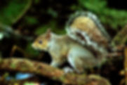 Picture of a grey squirrel in Hillsborough County, Florida's John Sargent Park as a fine art nature print for the wall of your home or office.