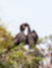 Picture of young cormorant with its head down its parents throat looking for food as a fine art nature print for the wall of your home or office.