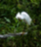 Picture of a snowy egret scratching its head in a marsh near Rubonia, Florida as a fine art nature print for the wall of your home or office.