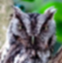 Picture of a male eastern screech owl watching its nest in Riverview, Florida as a fine art nature print for the wall of your home or office.