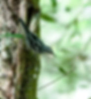 Picture of black and white warbler on a tree trunk in Tampa, Florida's Lettuce Lake Park as a fine art nature print for the wall of your home or office.