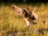 Picture of a young burrowing owl landing at its nest in Cape Coral, Florida as a fine art nature print for the wall of your home or office.