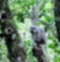 Picture of a fledgling barred owl outside its nest in Tampa, Florida's Lettuce Lake Park as a fine art nature print for the wall of your home or office.