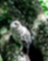 Picture of a fledgling barred owl in Tampa, Florida's Lettuce Lake Park as a fine art nature print for the wall of your home or office.