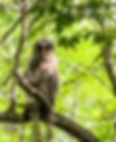 Picture of a fledgling barred owl in a tree in Tampa, Florida's Lettuce Lake Park as a fine art nature print for the walls of your home or office.