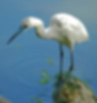 Picture of an immature little blue heron in Tampa, Florida's Lettuce Lake Park as a fine art nature print for the wall of your home or office.