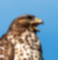 Picture of an immature red-shouldered hawk in Ruskin, Florida as a fine art nature print for the wall of your home or office.