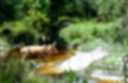 Picture of a cow crossing a stream in a Hihglands County, Florida pasture as a fine art nature print for the wall of your home or office.