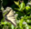 A tiger wallowtail butterfl as a fne art nature print for the walls of your home or office.