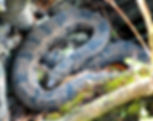 Picture of a brown water snake curled up in a stump in Tampa, Florida's Lettuce Lake Park as a fine art nature print for the wall of your home or office.