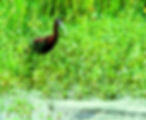Picture of a glossy ibis wading in a marsh in Riverview, Florida as a fine art nature print for the walls of your home or office.