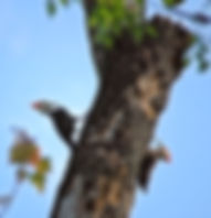 Picture of a pair of pileated woodpeckers on a tree in Tampa, Florida's Lettuce Lake Park as a fine art nature print for the wall of your home or office.