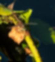 Gray-green Clubtail Dragonfly.jpg