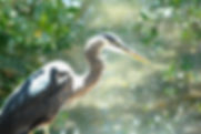 Picture of a great blue heron in the mangroves of Pinellas County, Florida's Ft. DeSoto Park as a fine art nature print for the wall of your home or office.