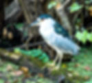Picture of a black crowned night heron at Tampa, Florida's Lettuce Lake Park as a fine art print for the wall of your home or office.