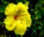 Picture of a yellow hibiscus in Tampa, Florida as a fine art nature print for the wall of your home or office.