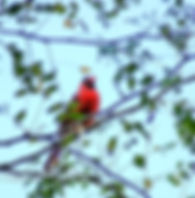 Picture of a male northern cardinal in Tampa, Florida's Lettuce Lake Park as a fine art print for the wall of your home or office.