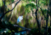 Picture of a great white egret on the edge of a pond as a fine art print for the wall of your home or office.